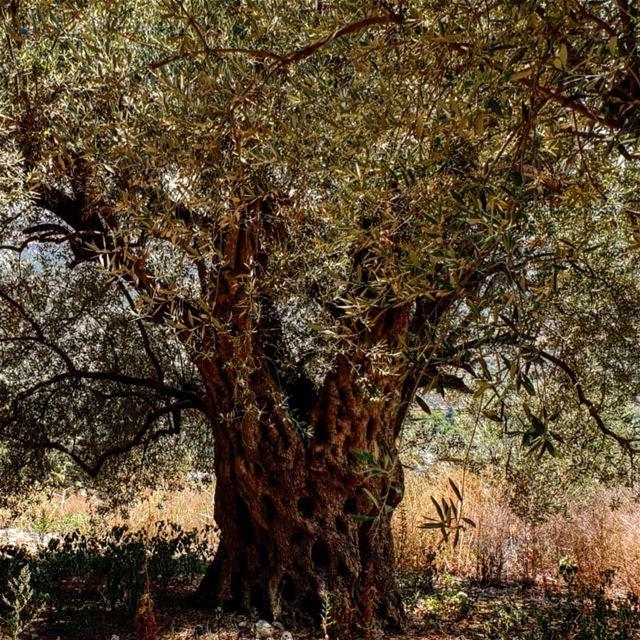 بستان الزيتون المعمر في كوكبا منذ اكثر من ٤٠٠٠ سنة وقد تبارك بمرور المسيح... (Kawkaba)