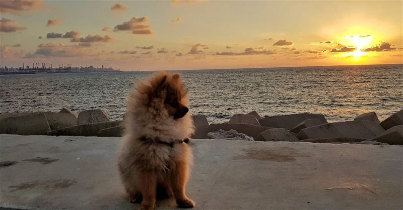 NEVER Watch a Sunset Alone 🦁❤.... pomeranianworld ... (Beirut, Lebanon)