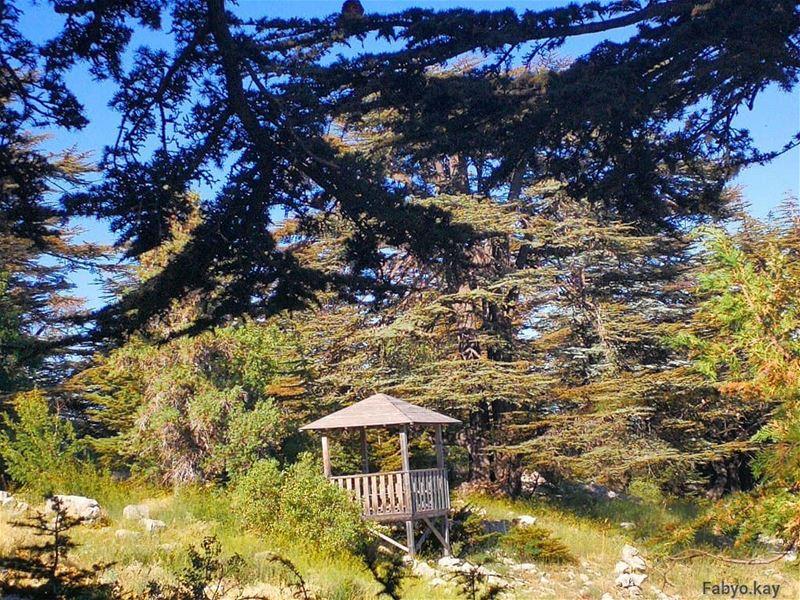 cedars tannourine forest nature naturephotography libanon trees... (Arz Tannoûrîne)