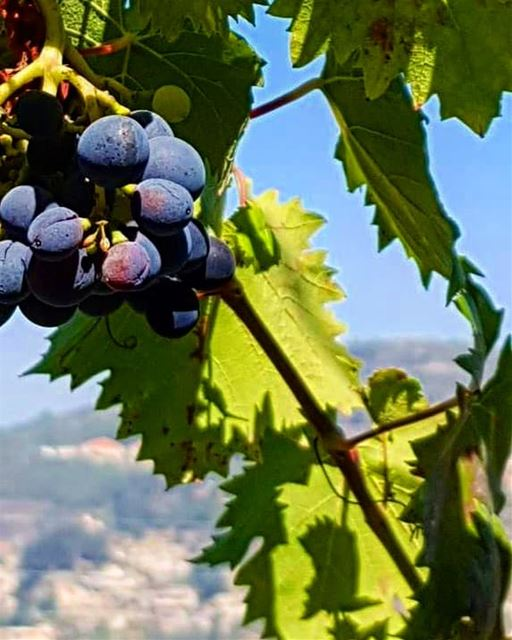 It's grape season 😍🍇🍇............ Lebanon  chouf  fruits ... (Mount Lebanon Governorate)