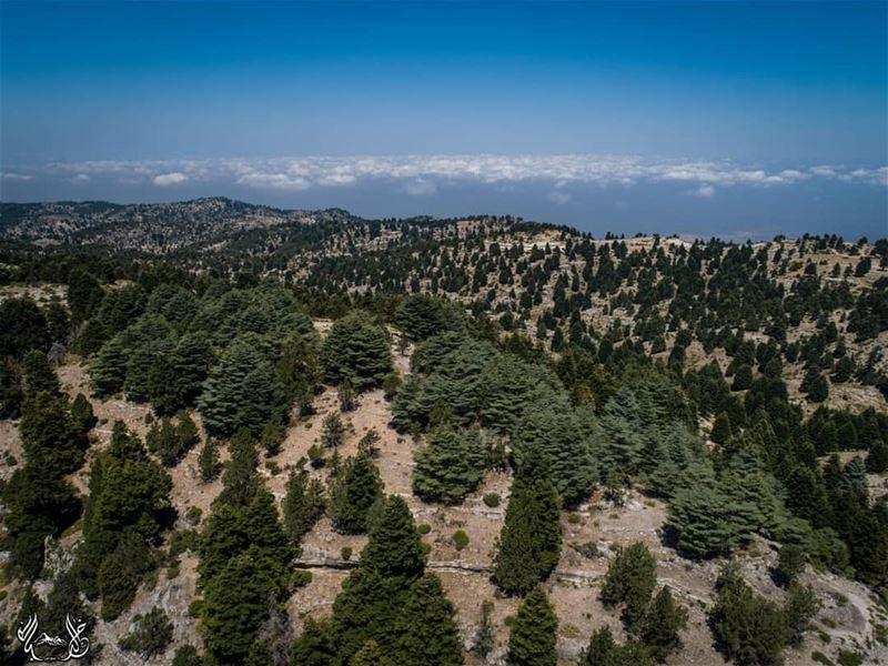 مجموعة من أشجار الأرز تتربع أعلى تلّة، تحيط بها أشجار الشوح من كل جانب، في...