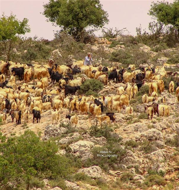 Lost in nature 🌳🐑@lebanonexplorer @tourinlebanon @live_love_south ...... (South Governorate)
