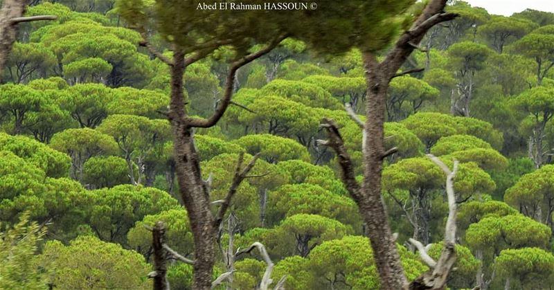 Jezzine's pines 🌳 jezzine livelovejezzine جزين Lebanon forest ... (Jezzîne, Al Janub, Lebanon)