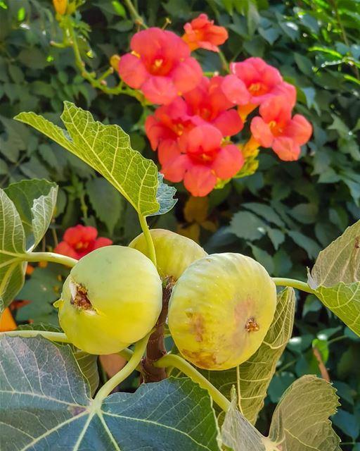 صباح الورد والتين 😋.... zahleh zahle lebanon figs flowers fresh... (Zahlé, Lebanon)