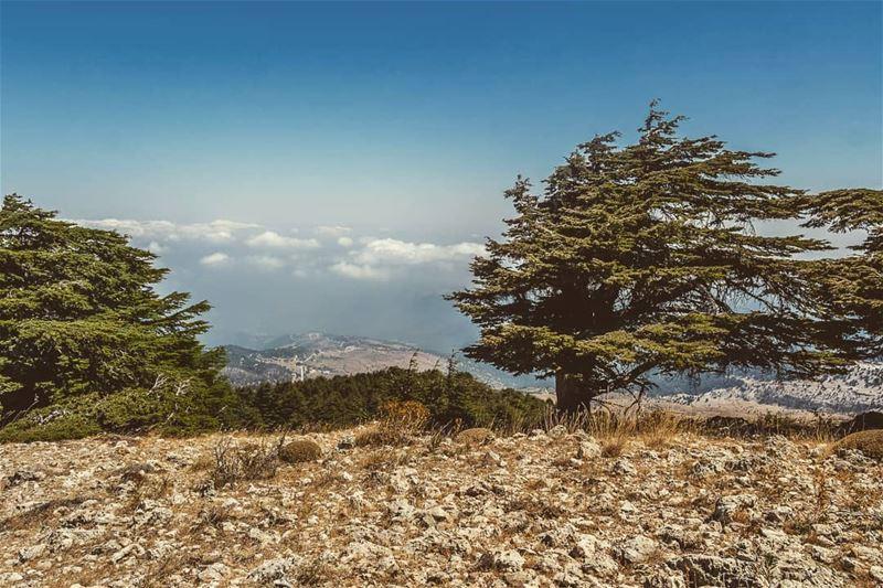 Asymmetric tree ____________________________________________________... (Al Qubayyat, Liban-Nord, Lebanon)