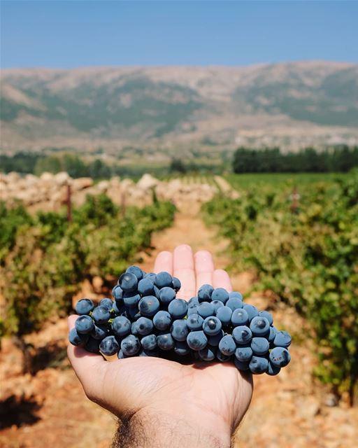 Wine in the making 🍷 حصاد الموسم