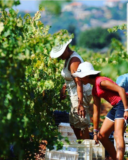 batroun البترون_سفرة harvest time vineyard winery wine bebatrouni ... (Batroûn)