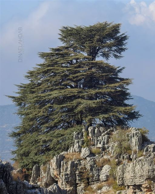 فخامة الأرزة 🇱🇧__________________ 961lens naturephotography ... (Jaj, Mont-Liban, Lebanon)