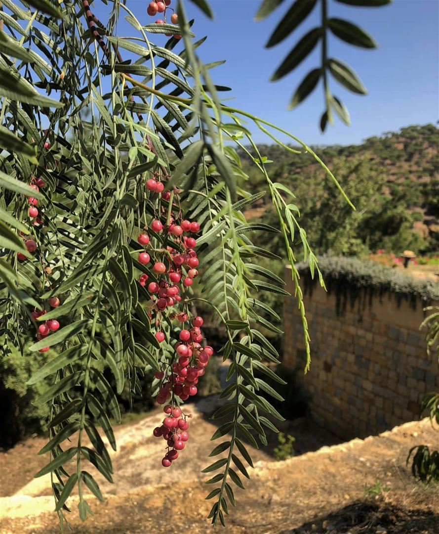 peppercorn trees bluejayvalley whatsuplebanon eyesoflebanon resorts ... (Blue Jay Valley)