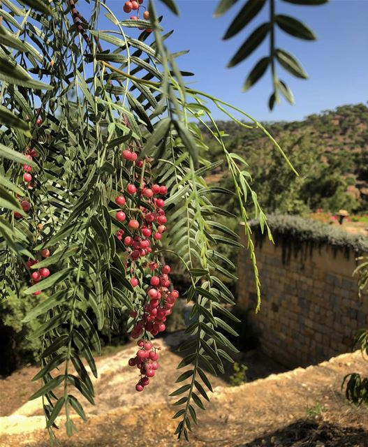 peppercorn trees bluejayvalley whatsuplebanon eyesoflebanon resorts ... (Blue Jay Valley)