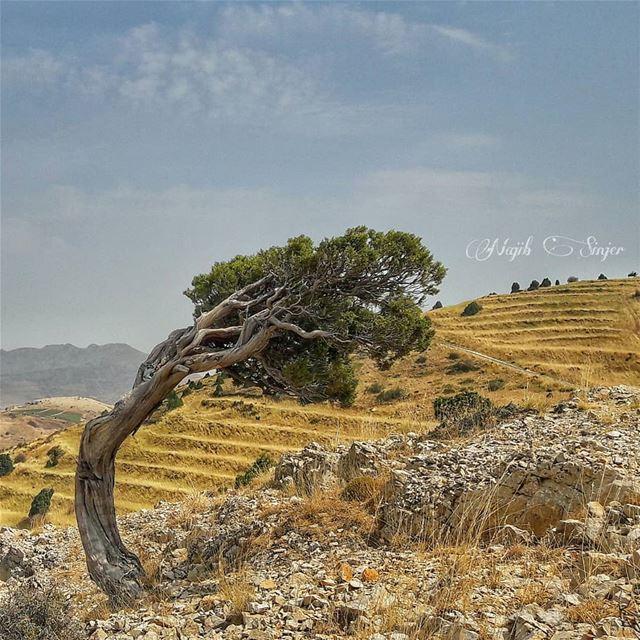 juniperus juniperusphoenicea super_lebanon Lebanonshots lebanon_insta... (El Hermel, Béqaa, Lebanon)