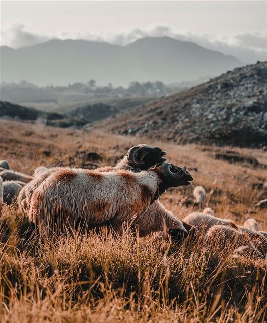 sheep mountains lebanon plain sunset nature snapshot photo ... (Akoura, Mont-Liban, Lebanon)