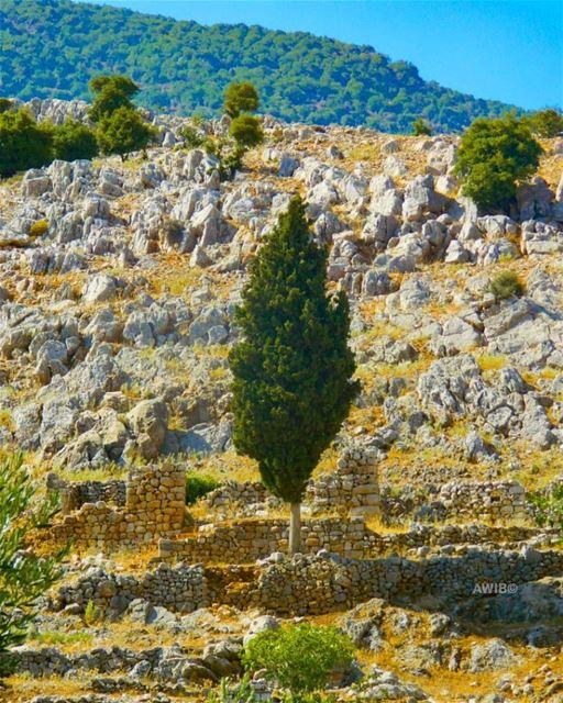 tree lonely alone green hill stand naturephotography photograph ... (`Ammiq, Béqaa, Lebanon)