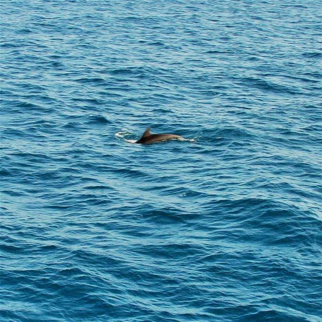 🐬............ dolphins sea MediterraneanSea Mediterranean... (Lebanon)
