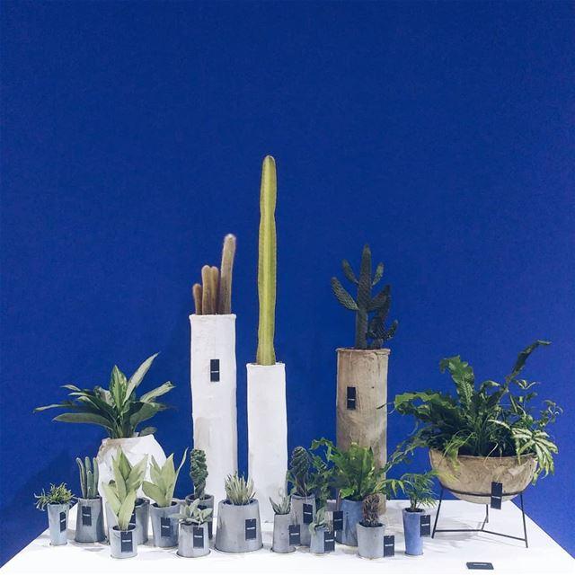 Cactaceae 🌵..... plants thesill cactus cactaceae ... (Beirut, Lebanon)