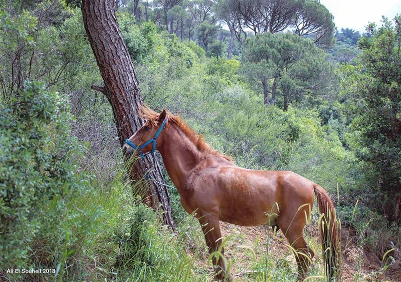 horse tb forest besri southlebanon trees hiking mountlebanon ... (Besri, Chouf)