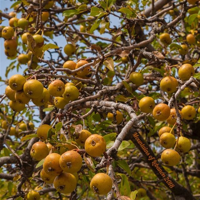 (Unknown) Wild fruit of fall...@anforestry The expert saved the day these... (Jabal Moûssi)