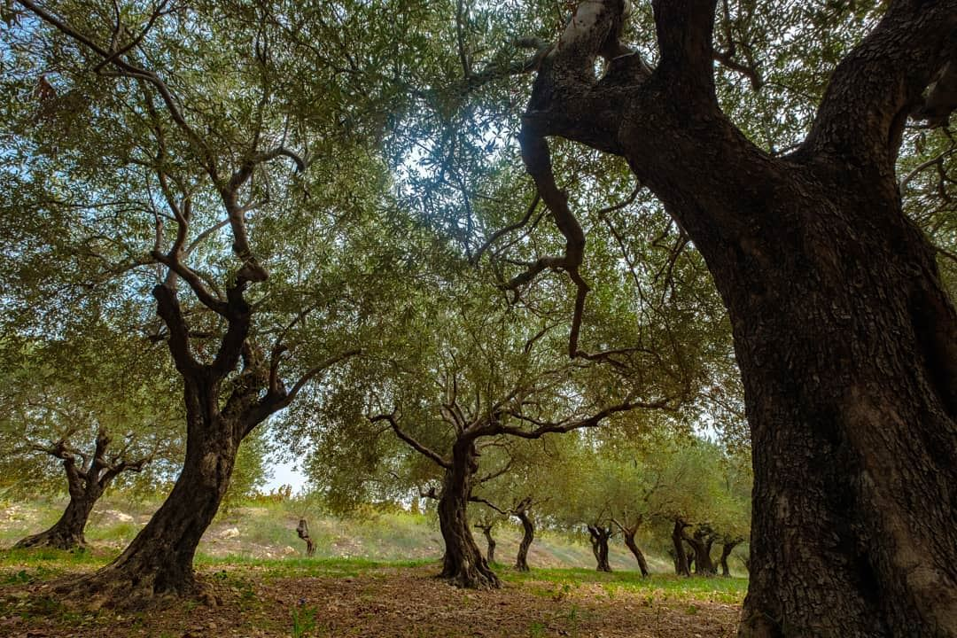 Did you know that trees secretly talk with each other? 😀😉💙📷...... (Batroun IXIR Winery)
