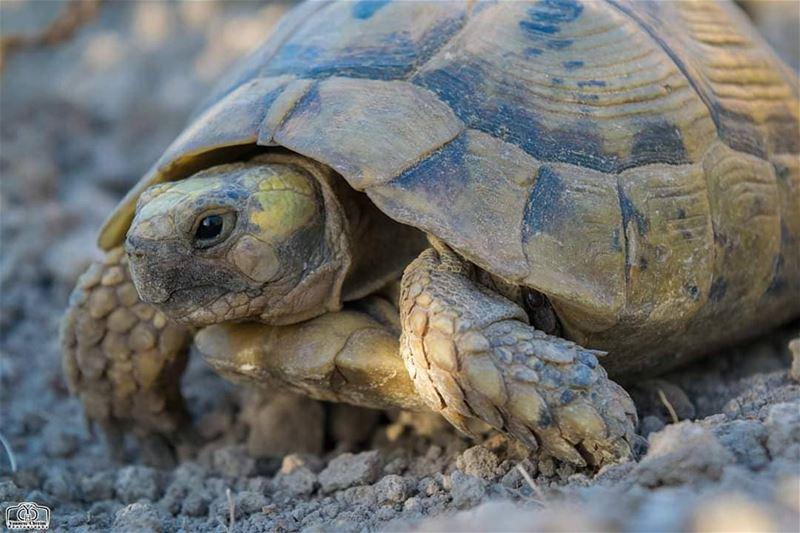 صباح النشاط 🐢 tortoise nature tortoisephotography lebanon ...