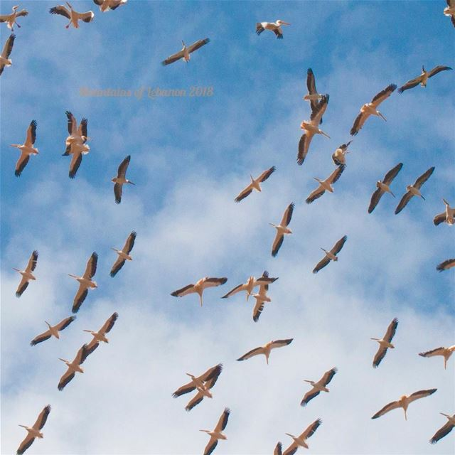 Pelicans migration heading towards warmer climates... when flying low,...