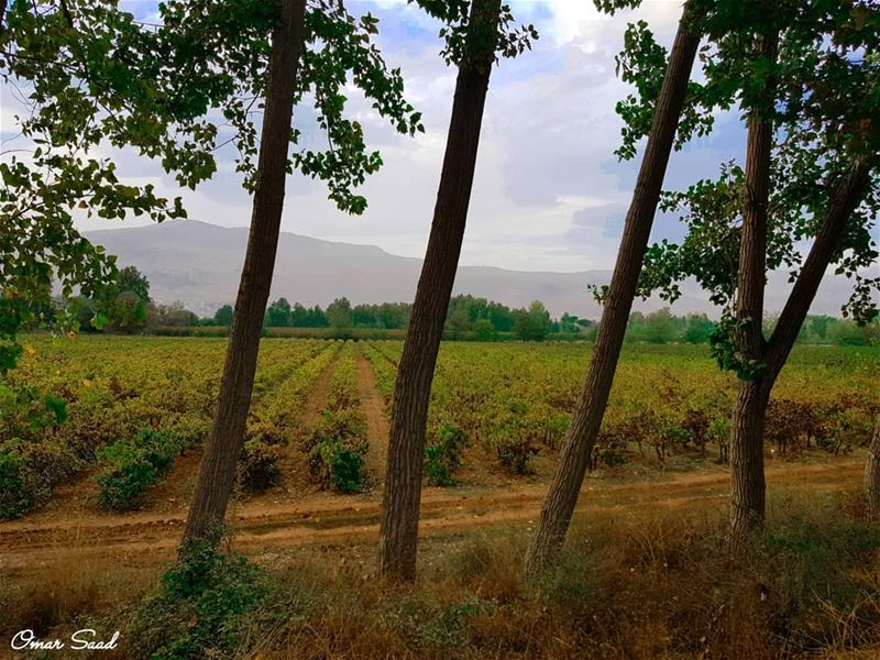 Stand behind vineyard taanayel grape field outdoor vacation lebanon...