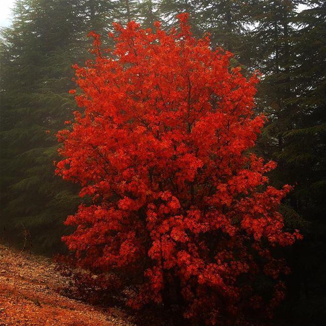 Stand out... lebanon livelovelebanon livelovechouf shouf shoufreserve... (Al Shouf Cedar Nature Reserve)