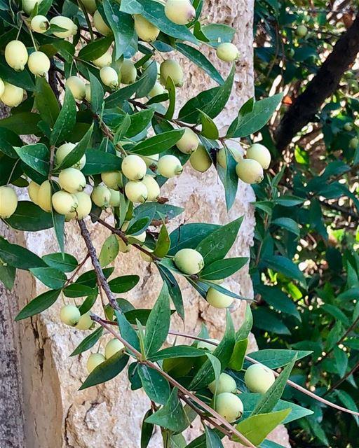 An explosion of myrtle berries everywhere. myrtleberries ... (Beiteddine)
