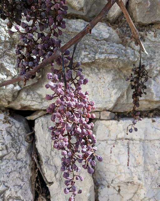 yaroun yarounday old grapevine autumn southlebanon lebanon dry ...