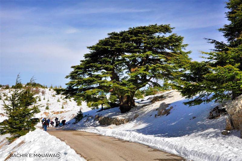 lebanon cedars happyindependanceday independanceday snow ...