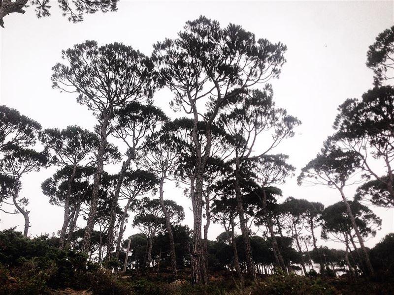 pine...
