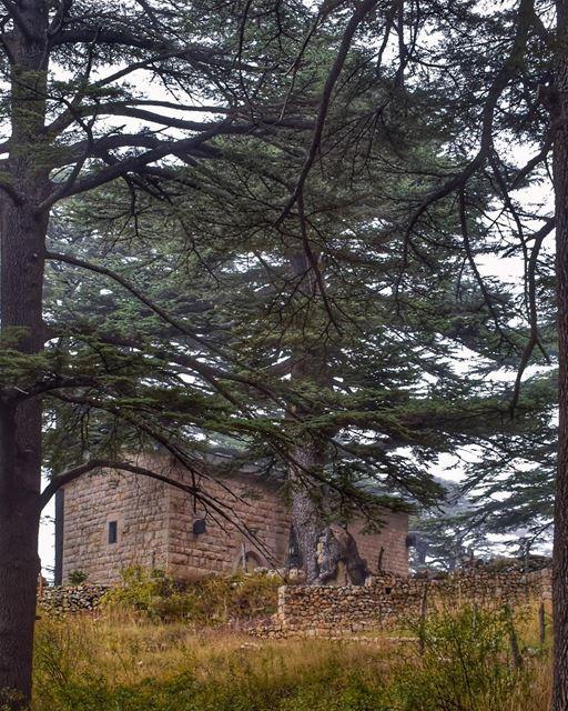 The righteous shall flourish like a palm tree and grow like a Cedar in... (Cedars of God)