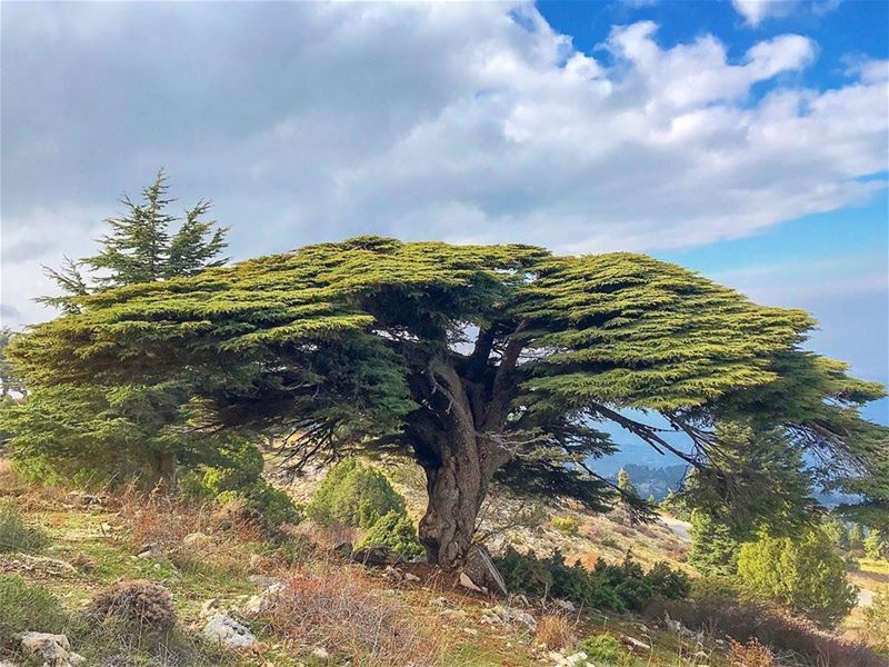 تحت ارزك يا لبنان..... 🎼 Photo taken by @tarekhawwash・・・......... (Cedar of Lebanon)
