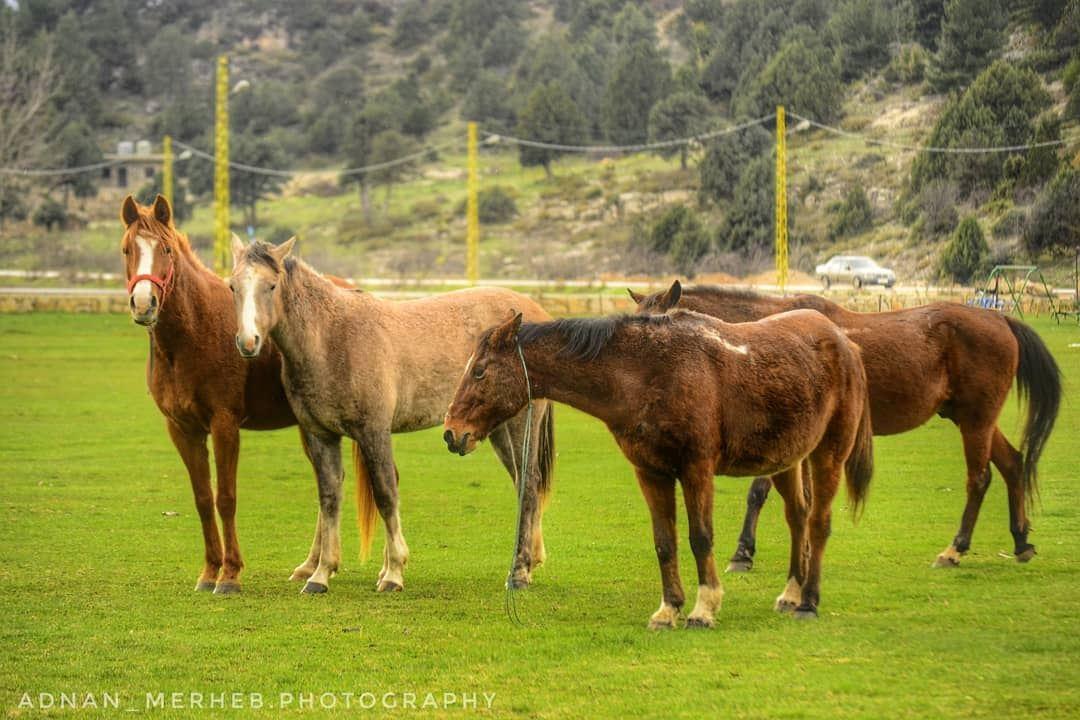 Love❤️ horses horse horsesofinstagram socialsteeze horseshow ... (El Qammoûaa)