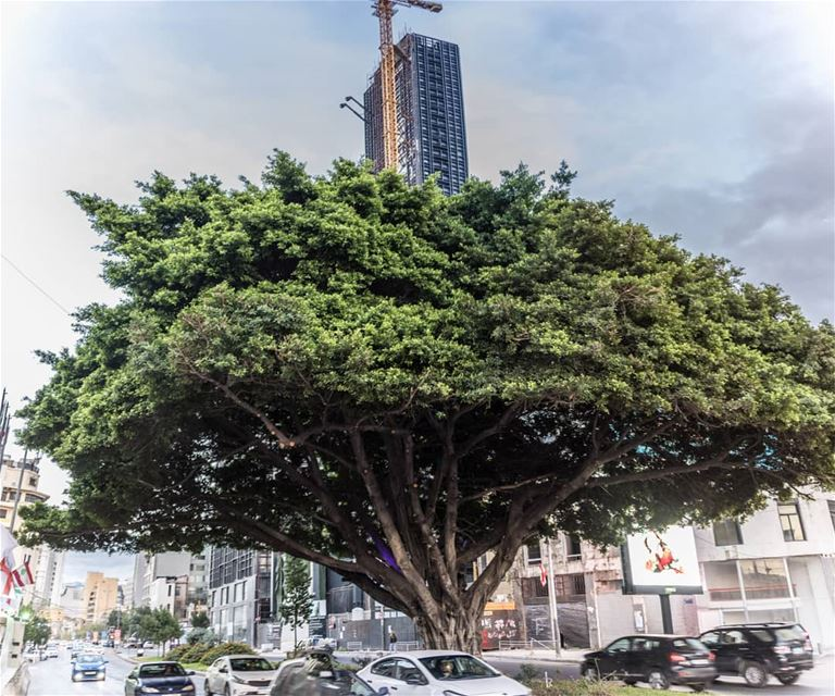 Oldest tree in downtown 🇱🇧........ lebanon  livelovebeirut ...