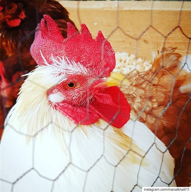 chicken  nature  farm  dayout  family  coq   lebanon  tags4likes ...