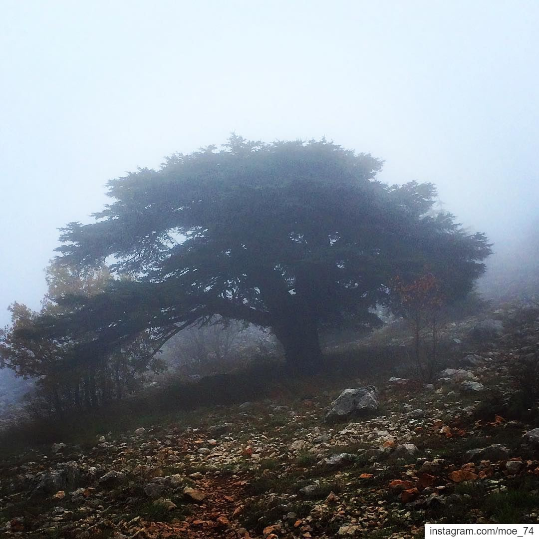 Young twigs will bend but not old trees lebanon  cedars  tree ... (Al Shouf Cedar Nature Reserve)