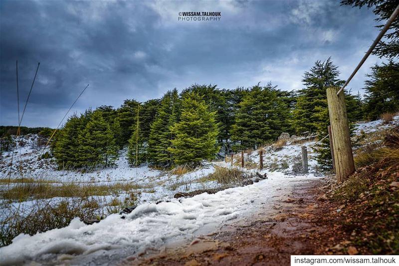 cedars cedarsoflebanon chouf shouf mountlebanon lebanon mountains ... (El Bârouk, Mont-Liban, Lebanon)