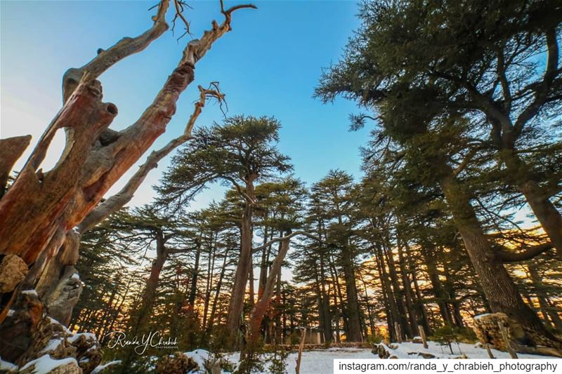 أرز الربّ Cedars Of God 🌲 cedar cedarsoflebanon arz lebanon_pictures ... (Cedars of God)