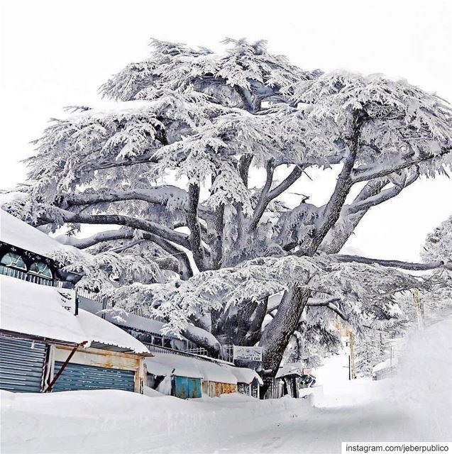 🇱🇧 El emblema del Líbano 🇱🇧 🌲En la gráfica podemos observar un... (The Cedars of Lebanon)