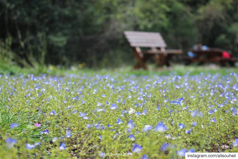 tb wadisalib mountlebanon blue flowers kfardebian closeup hiking ... (Wadi El Salib - Kfardebian)