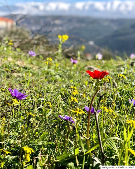 Wildflowers are in a hurry. lebanese livelovelebanon visitlebanon ...