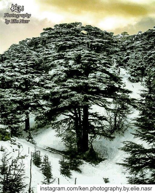 ...كم أرزة وكان إنك ما تهدى يوموهاك البطل هال متلك ولا لونقالوا إنقتل..... (The Cedars of Lebanon)