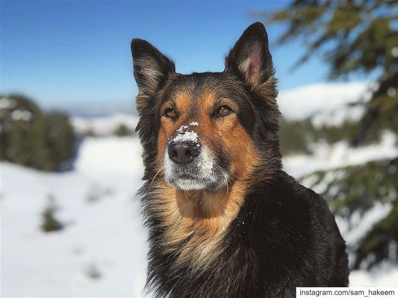 Snow overdose Dodger_TheDog ... livelovelebanon livelovebeirut... (Bâroûk, Mont-Liban, Lebanon)