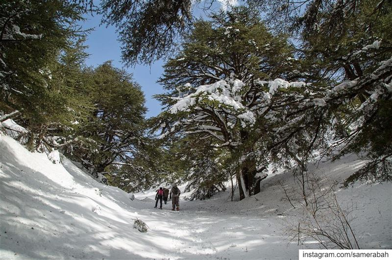 A walk in the wild.......... snow wild forest tree cedars ... (Shouf Cedar Ain Zhalta)