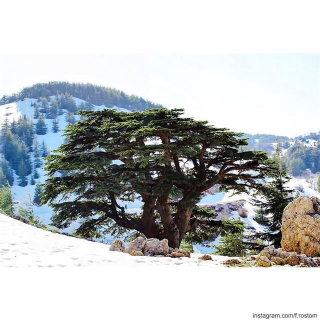 أرزتنا اللبنانية هيي الوحيدة يلي منستاهل ندعما، لا البيضة ولا الخسة ما هيك... (Arz el Bâroûk)