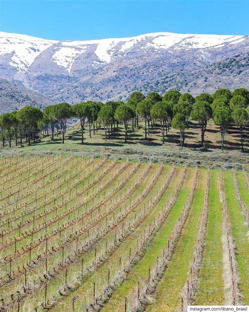 🇱🇧🇧🇷 Começando a semana com esta linda paisagem das vinícolas do Líbano (Château Kefraya)