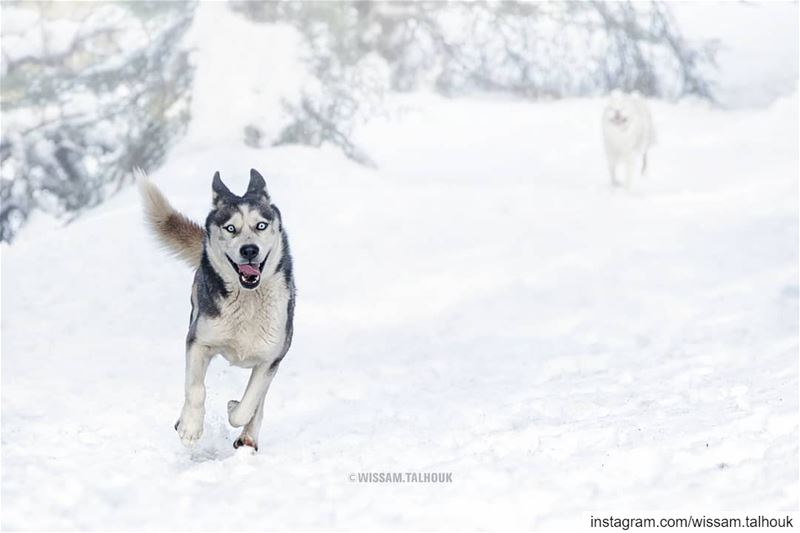 On the 8th day, GOD created huskies 😃  dog  dogs  dogsofinstagram  husky ... (Al Shouf Cedar Nature Reserve)