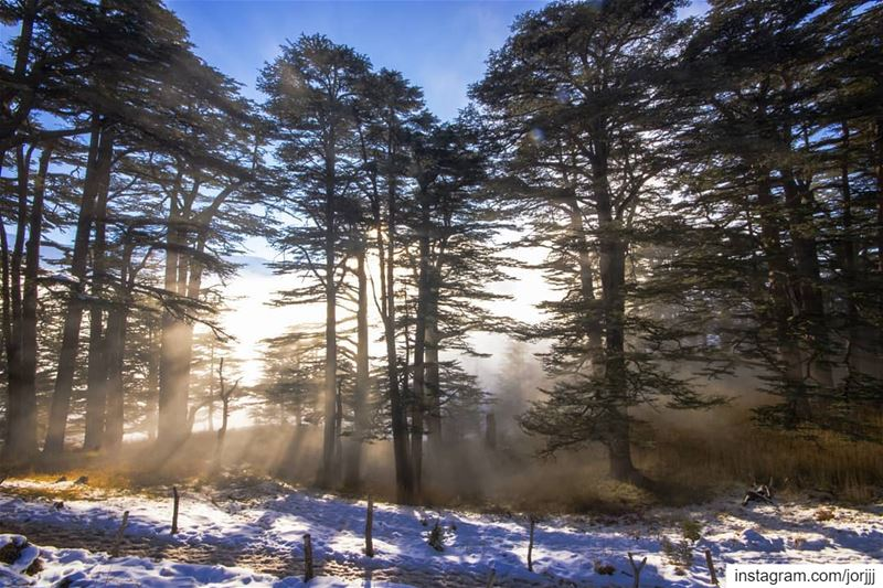 Sacred Cedar trees 🌲⛅🌲..... Lebanon Cedars cedartree ... (Cedars of God)