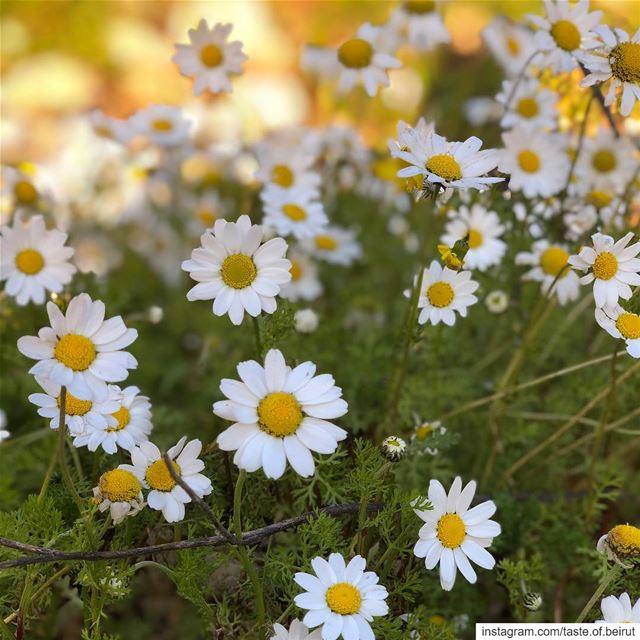 Wild daisies galore, and it's January! Can someone tell me how can that be... (Dayr Al Qamar, Mont-Liban, Lebanon)