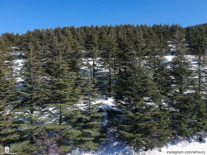 lebanonshots cedars lebanesecedars trees lineup aerialphotography aerial... (Al Shouf Cedar Nature Reserve)